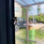 【初めての養蜂】探索蜂が来た!!